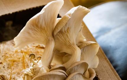 Champignon oesterzwam