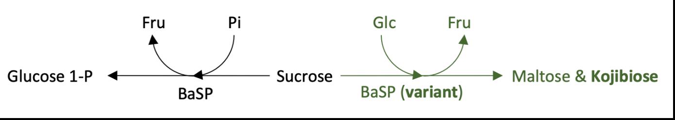 glucosemolecule op een acceptormolecule