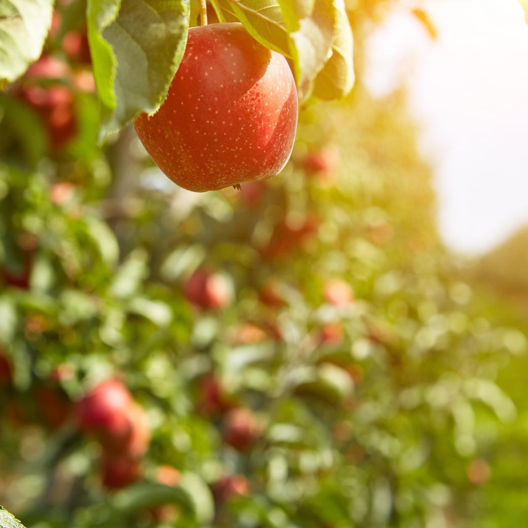 Appel aan boom