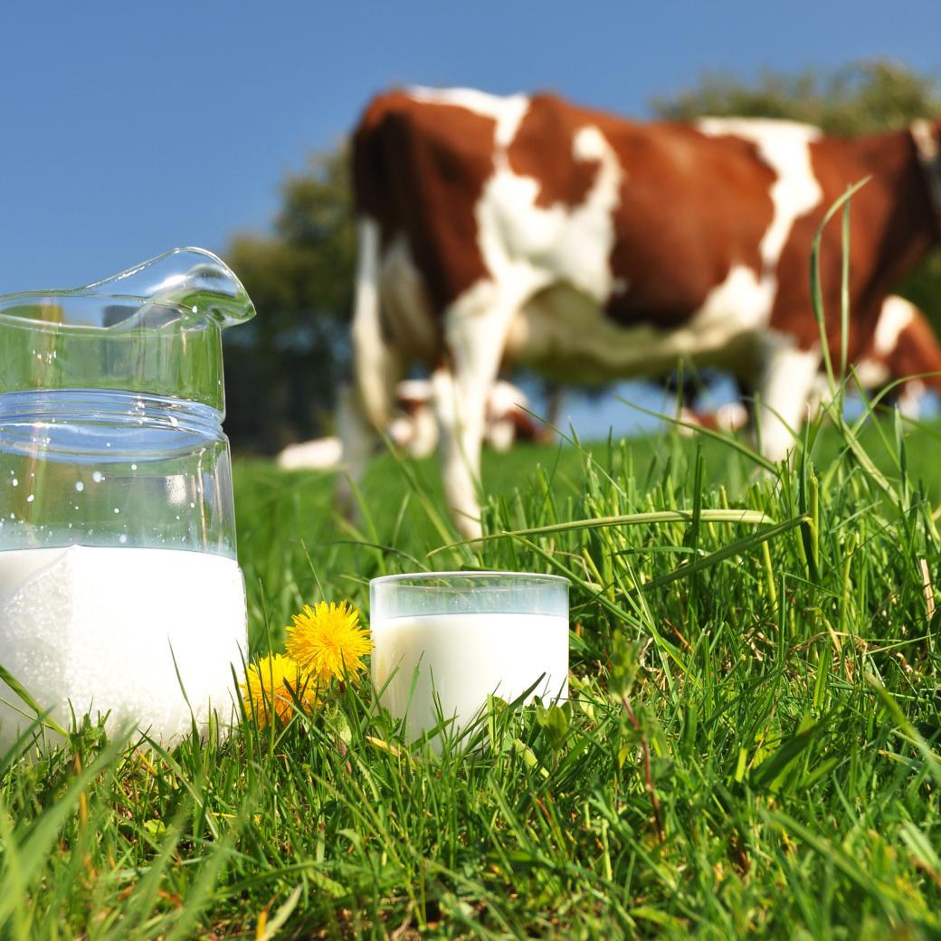 Melk met koeien
